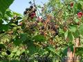Продам саженцы Ежевики и много других растений (опт от 1000 грн) - Изображение #6, Объявление #1562832