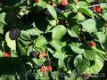 Продам саженцы Ежевики и много других растений (опт от 1000 грн) - Изображение #8, Объявление #1562832