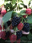 Продам саженцы Ежевики и много других растений (опт от 1000 грн) - Изображение #9, Объявление #1562832