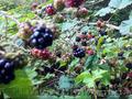 Продам саженцы Ежевики и много других растений (опт от 1000 грн) - Изображение #10, Объявление #1562832