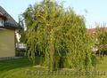 Продам саженцы Ивы Вавилонской (Матсуданы) и много других растений, Объявление #1562847
