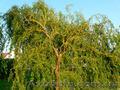 Продам саженцы Ивы Вавилонской (Матсуданы) и много других растений - Изображение #2, Объявление #1562847