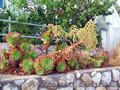 Продам почвопокровник Каменную розу (Молодило) и много других растений, Объявление #1562961