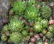 Продам почвопокровник Каменную розу (Молодило) и много других растений - Изображение #2, Объявление #1562961