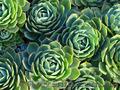 Продам почвопокровник Каменную розу (Молодило) и много других растений - Изображение #4, Объявление #1562961