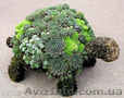 Продам почвопокровник Каменную розу (Молодило) и много других растений - Изображение #6, Объявление #1562961