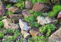 Продам почвопокровник Каменную розу (Молодило) и много других растений - Изображение #7, Объявление #1562961