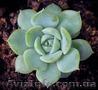 Продам почвопокровник Каменную розу (Молодило) и много других растений - Изображение #9, Объявление #1562961