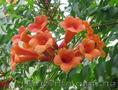 Продам корни Кампсиса имного других растений (опт от 1000 грн). - Изображение #2, Объявление #1562963