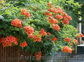 Продам корни Кампсиса имного других растений (опт от 1000 грн). - Изображение #5, Объявление #1562963