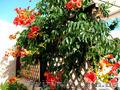Продам корни Кампсиса имного других растений (опт от 1000 грн). - Изображение #6, Объявление #1562963