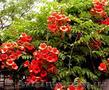Продам корни Кампсиса имного других растений (опт от 1000 грн). - Изображение #7, Объявление #1562963
