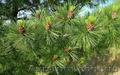 Продам саженцы Кедра и много других растений (опт от 1000 грн). - Изображение #10, Объявление #1562966