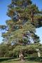 Продам саженцы Кедра и много других растений (опт от 1000 грн)., Объявление #1562966