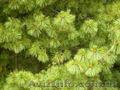 Продам саженцы Кедра и много других растений (опт от 1000 грн). - Изображение #2, Объявление #1562966