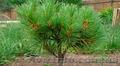 Продам саженцы Кедра и много других растений (опт от 1000 грн). - Изображение #3, Объявление #1562966