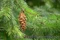 Продам саженцы Кедра и много других растений (опт от 1000 грн). - Изображение #5, Объявление #1562966