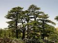 Продам саженцы Кедра и много других растений (опт от 1000 грн). - Изображение #6, Объявление #1562966