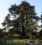 Продам саженцы Кедра и много других растений (опт от 1000 грн). - Изображение #7, Объявление #1562966