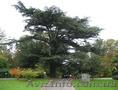 Продам саженцы Кедра и много других растений (опт от 1000 грн). - Изображение #8, Объявление #1562966