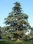 Продам саженцы Кедра и много других растений (опт от 1000 грн). - Изображение #9, Объявление #1562966