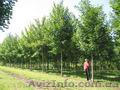 Продам саженцы Клена и много других растений (опт от 1000 грн)., Объявление #1562973
