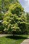 Продам саженцы Клена и много других растений (опт от 1000 грн). - Изображение #2, Объявление #1562973