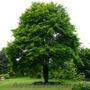 Продам саженцы Клена и много других растений (опт от 1000 грн). - Изображение #3, Объявление #1562973