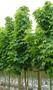 Продам саженцы Клена и много других растений (опт от 1000 грн). - Изображение #5, Объявление #1562973