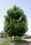 Продам саженцы Клена и много других растений (опт от 1000 грн). - Изображение #6, Объявление #1562973