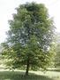 Продам саженцы Клена и много других растений (опт от 1000 грн). - Изображение #8, Объявление #1562973