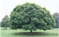 Продам саженцы Клена и много других растений (опт от 1000 грн). - Изображение #9, Объявление #1562973