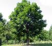 Продам саженцы Клена и много других растений (опт от 1000 грн). - Изображение #10, Объявление #1562973