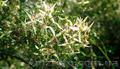 Продам саженцы Дикий Климатис и много других растений (опт от 1000 грн)., Объявление #1562822