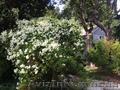 Продам саженцы Дикий Климатис и много других растений (опт от 1000 грн). - Изображение #2, Объявление #1562822