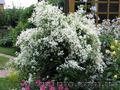 Продам саженцы Дикий Климатис и много других растений (опт от 1000 грн). - Изображение #3, Объявление #1562822