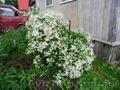 Продам саженцы Дикий Климатис и много других растений (опт от 1000 грн). - Изображение #4, Объявление #1562822