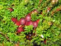 Продам саженцы Клюквы - Вашингтон и много других растений (опт от 1000 грн) - Изображение #9, Объявление #1562980