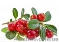 Продам саженцы Клюквы - Вашингтон и много других растений (опт от 1000 грн), Объявление #1562980