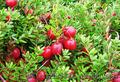 Продам саженцы Клюквы - Вашингтон и много других растений (опт от 1000 грн) - Изображение #3, Объявление #1562980