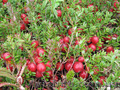 Продам саженцы Клюквы - Вашингтон и много других растений (опт от 1000 грн) - Изображение #4, Объявление #1562980