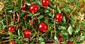 Продам саженцы Клюквы - Вашингтон и много других растений (опт от 1000 грн) - Изображение #5, Объявление #1562980