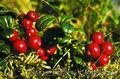Продам саженцы Клюквы - Вашингтон и много других растений (опт от 1000 грн) - Изображение #6, Объявление #1562980