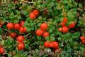 Продам саженцы Клюквы - Вашингтон и много других растений (опт от 1000 грн) - Изображение #7, Объявление #1562980