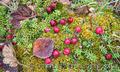 Продам саженцы Клюквы - Вашингтон и много других растений (опт от 1000 грн) - Изображение #8, Объявление #1562980