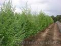 Продам саженцы Листвиницы и много других растений (опт от 1000 грн). - Изображение #10, Объявление #1563010