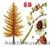 Продам саженцы Листвиницы и много других растений (опт от 1000 грн)., Объявление #1563010