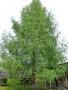 Продам саженцы Листвиницы и много других растений (опт от 1000 грн). - Изображение #2, Объявление #1563010