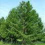 Продам саженцы Листвиницы и много других растений (опт от 1000 грн). - Изображение #3, Объявление #1563010