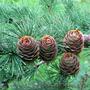 Продам саженцы Листвиницы и много других растений (опт от 1000 грн). - Изображение #4, Объявление #1563010